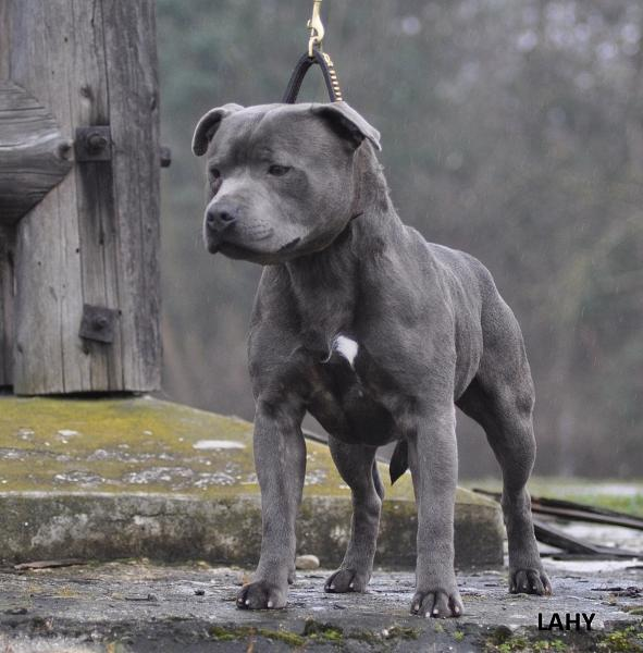 Uvanlig Multi Champion Seraf Blue Angel – Stud 2015 @ BSN – bluestaffs norway GI-71